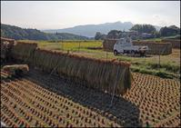 稲刈りーオリザ刈り - イーハトーブ・ガーデン