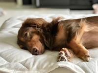 18年9月21日 よく眠れるね(*^_^*) - 旅行犬 さくら 桃子 あんず 日記