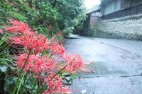雨の日の彼岸花- 花沢 - - やきつべふぉと
