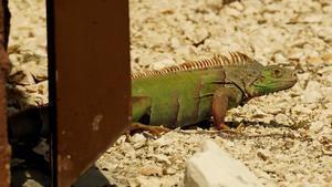 ベリーズ自宅庭のグリーンイグアナ - とことん写真