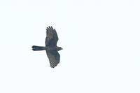 真っ暗なサシバ - 野鳥公園