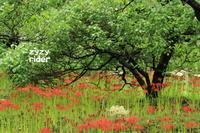 長い茎(ヒガンバナ) - ジージーライダーの自然彩彩