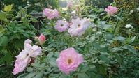 久しぶりの庭といちじく - 今から・花