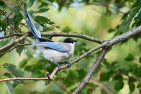 ご近所のオナガさん - * Toypoodle  x3 + Birds *