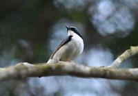 2017年5月 コルリ コマドリ - 可愛い野鳥たち 2