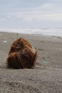 秋の木の実・ココヤシ - Beachcomber's Logbook