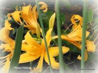 黄色いのが咲きました♪ - ルーマニアン・マクラメに魅せられて