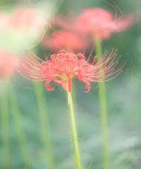 彼岸花 3 - 光 塗人 の デジタル フォト グラフィック アート (DIGITAL PHOTOGRAPHIC ARTWORKS)