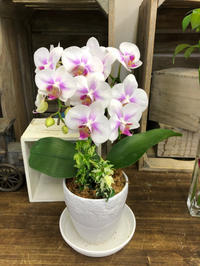 鉢物のご紹介 - hanazakka*花雑貨