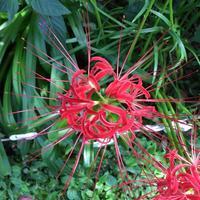 初秋の庭彼岸花 - Mayumin's rose garden&table 小さな秘密の花園で