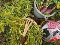 エダマメ収穫といろいろな秋 - 北緯44度の雑記帳