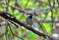 お山の小鳥 - 気ままな生き物撮り