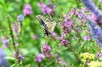 花畑のキアゲハByヒナ - 仲良し夫婦DE生き物ブログ