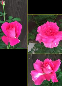 薔薇 - 今日もひとつだけ