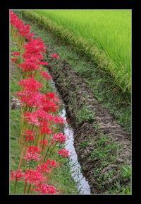畦道に咲く - Desire