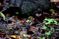 水場に降りてきたキビタキ - azure 自然散策 ~自然・季節・野鳥~