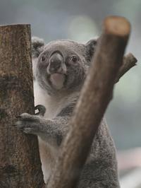 ひかりのコアラはどうしてる - bonsoir