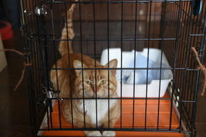 猫神様はサービス精神旺盛 その9 去勢手術 - りきの毎日