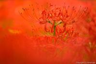 赤い蜘蛛の、リリー - ひつじ雲日記