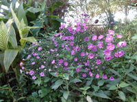孔雀アスター - だんご虫の花