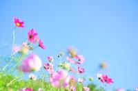 秋桜の時期です - Pastel color