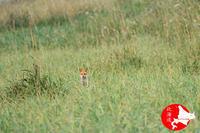 草原のキタキツネひょっこりはんw - イチガンの花道