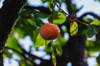 一番柿 - 彩りの軌跡