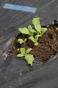 レタスは順調白菜はボロボロ - ぬるぅい畑生活