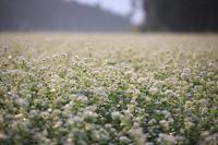 蕎麦の花咲く - ratoの山歩き