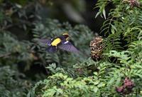山椒の実を食べに・・・キビタキ - ベジタブルpartⅤ(鳥と共に日々是好日)