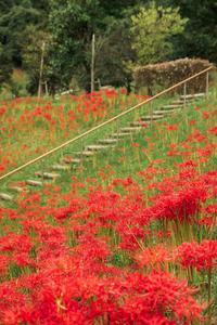 花みどり公園のヒガンバナ - Omoブログ