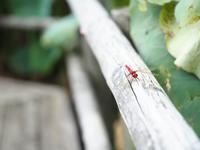 赤い、赤い、ショウジョウトンボ♪ - fukko-san*  blog