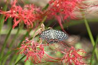 ナガサキアゲハヒガンバナも終盤 - 蝶のいる風景blog
