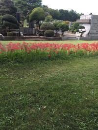 秋のお彼岸。曼珠沙華の咲く路。 - MakikoJoy 上北沢のアロマセラピールームあつあつ便り