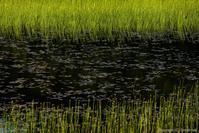 朝の池塘 - ひつじ雲日記