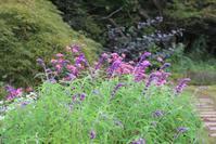 セージの季節&こぼれ種で育つ花 - ペコリの庭 *