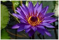 紫スイレン -  one's  heart