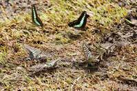 アゲハ蝶たちの給水風景 - 武蔵野散歩Ⅱ