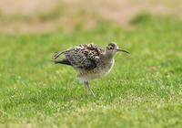 2017年4月コシャクシギ - 可愛い野鳥たち 2