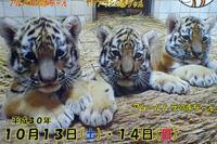 アムールトラの赤ちゃん - 動物園放浪記