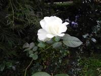我が家の白い薔薇 - 日頃の思いと生理学・病理学的考察
