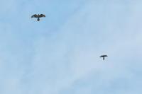 鷹の渡り - ひとり野鳥の会