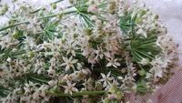ニラの花束 - 初めまして花咲かそです☺ 続き