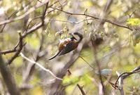 ヤマガラ に 遊ぶ - 野山の住認たちⅡ