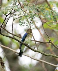 半分青い - ゆるゆる野鳥観察日記