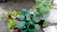 野菜の苗を買ってきました2018秋冬 - つれづれなるままに・・・ふくろうみーの庭