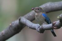 オオルリオス若の種吐き - 上州自然散策2