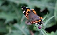 三連休の最終日 - 紀州里山の蝶たち
