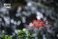 まだ健在なヒガンバナ - ジージーライダーの自然彩彩