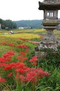 彼岸花 - yutorieの庭②